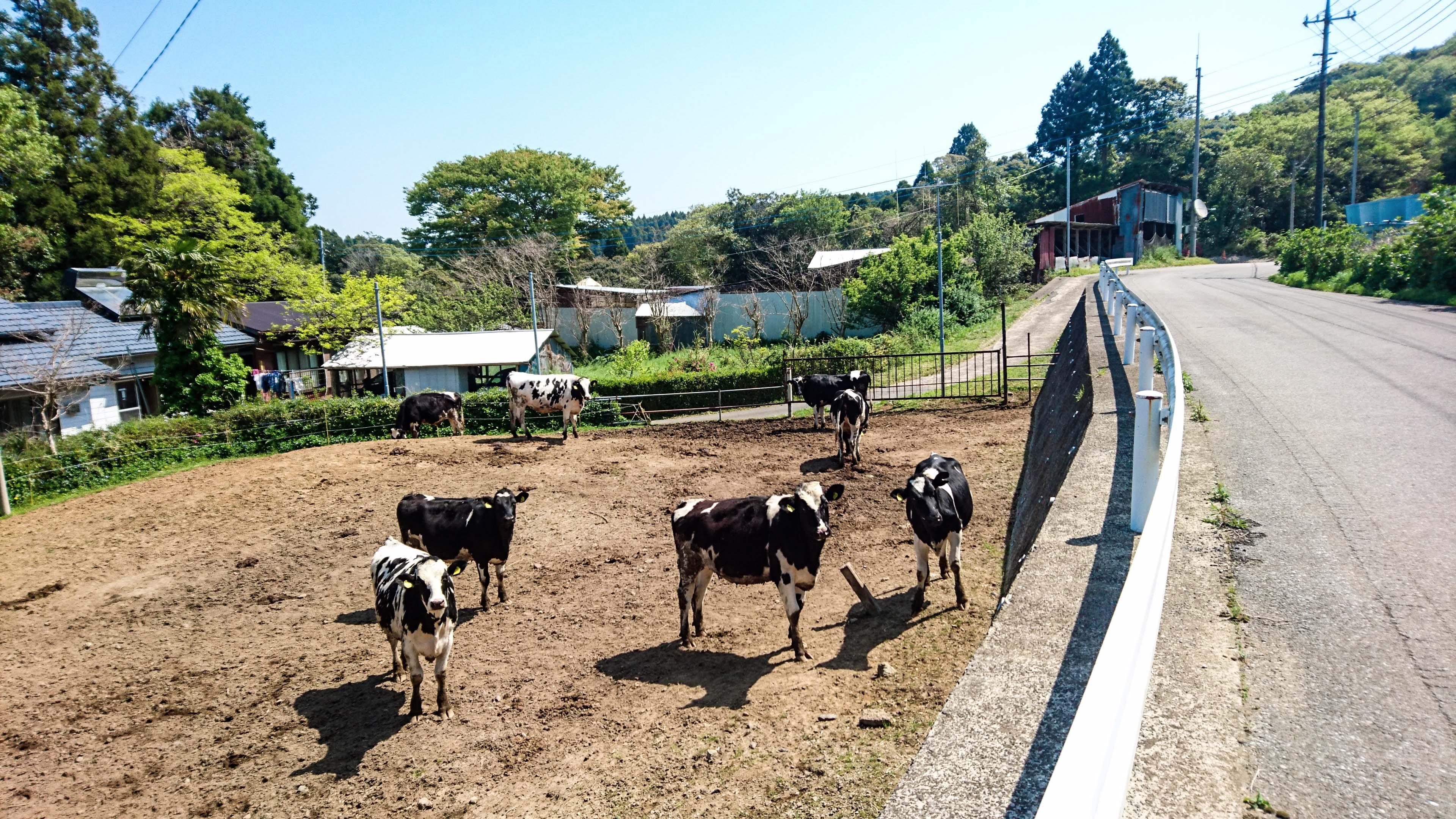 牛の集団がこちらを見ている