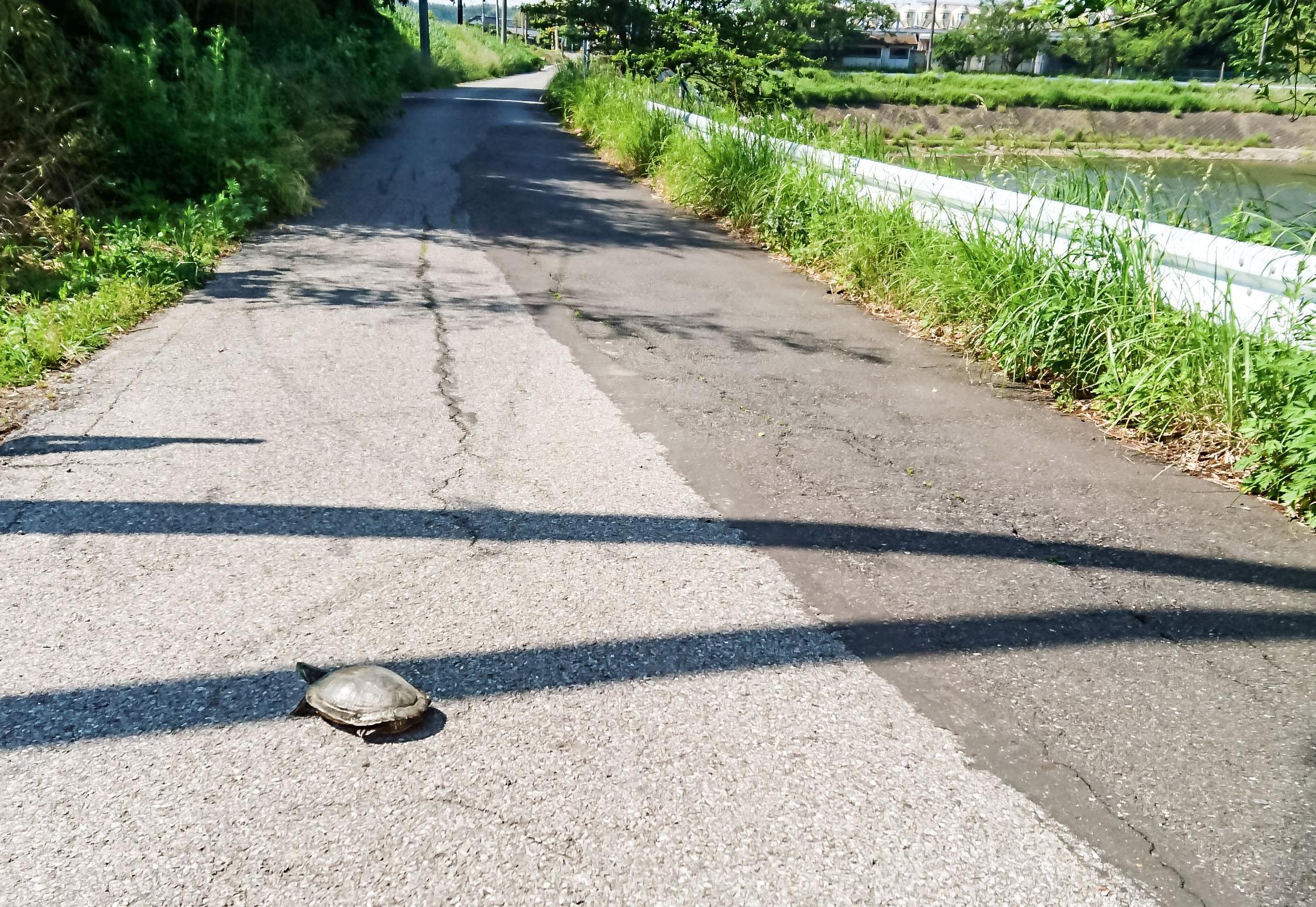 道路に亀がいる